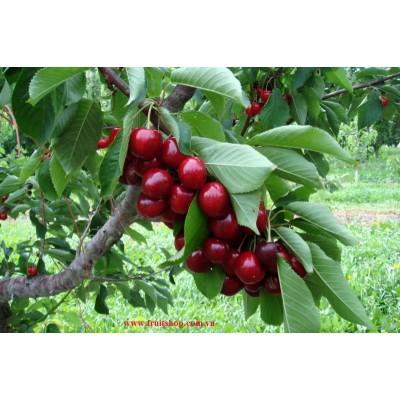 Cherry đỏ Úc, Australian cherries, anh đào úc